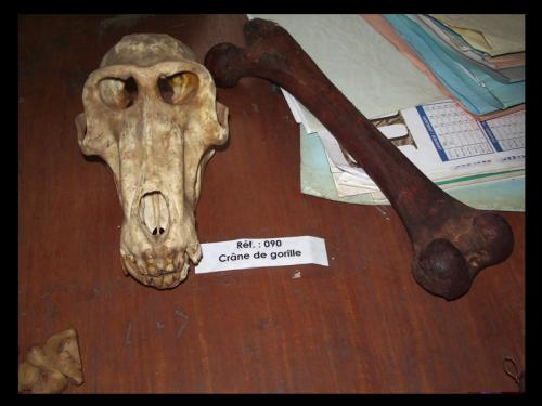 Skull and bone of apes