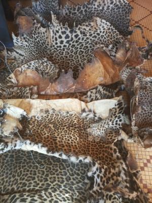 5 leopard skins seized, trafficker arrested in Bandjoun