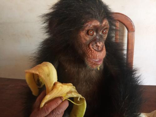 Un homme arrêté avec un bébé chimpanzé à Nanga-Eboko