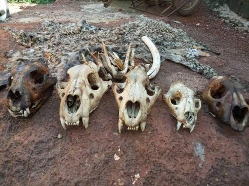 Policeman protecting Bouba Ndjida park arrested with 5 lion skulls