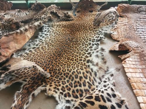 Quatre hommes arrêtés avec 3 peaux de léopards et une peau de crocodile