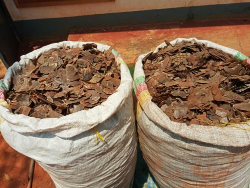 A Pangolin scales trafficker arrested in Bertoua