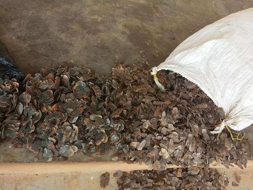 Un trafiquant arrêté avec 23 kg d'écailles de pangolin