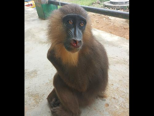 Primates traffickers arrests amidst Covid-19