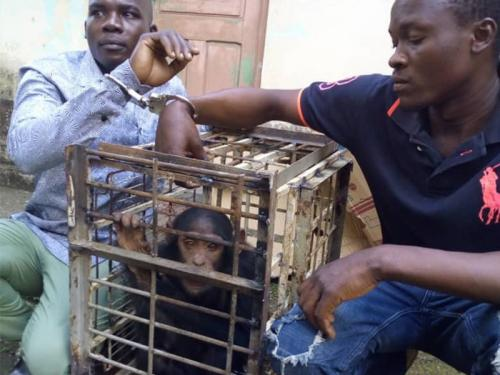 Chimp traffickers arrested in Douala