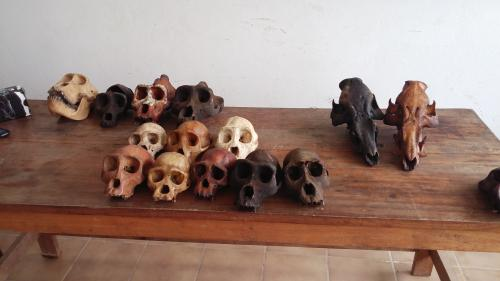 2 ape skull traffickers arrested with 5 gorilla and 5 chimpanzee skulls
